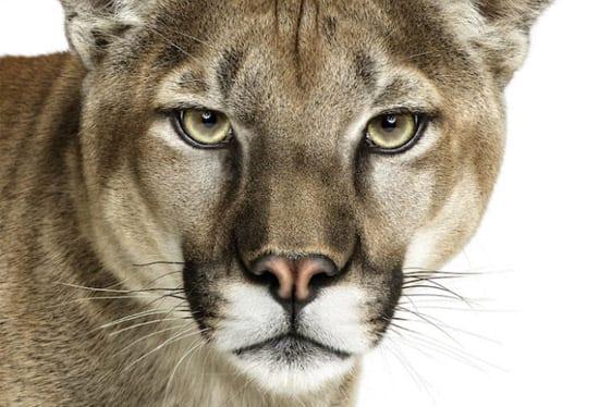 mountainlion_animal
